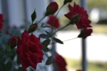Roses by David Yarde